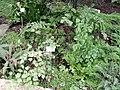 Adiantum peruvianum - Botanischer Garten Freiburg - DSC06273.jpg