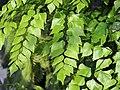 Adiantum peruvianum Niekropień 2018-04-15 01.jpg
