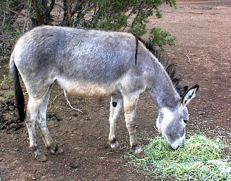 Adopted wild burro, Wikipedia image