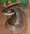 Adult Female Python sebae.jpg