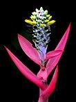 Aechmea maculata23.jpg