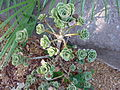 Aeonium balsamiferum.jpg