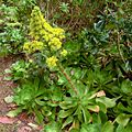Aeonium cuneatum Tenerife 1.jpg