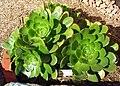 Aeoniumurbicum.jpg