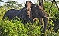 African Elephant, Uganda (15163958173).jpg