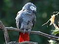 African Grey Parrot RWD.jpg
