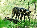 African Wild Dogs (Lycaon pictus) (51276019218).jpg