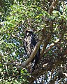 African crowned eagle 2017 11 20 6131.jpg