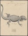 Agama colonorum - 1700-1880 - Print - Iconographia Zoologica - Special Collections University of Amsterdam - UBA01 IZ12700089.tif