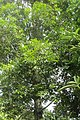 Agathis . kinabaluensis de Laub. (AM AK360201-4).jpg