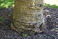 Agathis australis in Christchurch Botanic Gardens 01.jpg