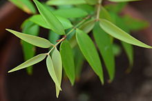 Agathis philippinensis - young tree.JPG