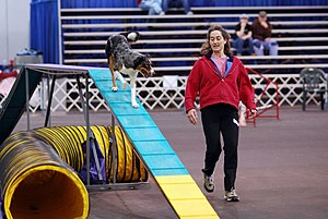 Dog agility - A Border Collie on a dogwalk