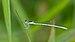 Agriocnemis pieris-Kadavoor-2015-08-21-002.jpg