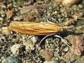 Agriphila tristella (Crambidae) - (imago), Gennep, the Netherlands.jpg