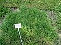 Agrostis stolonifera - Botanischer Garten München-Nymphenburg - DSC07790.JPG