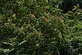 Ailanthus altissima75.jpg