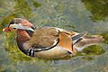 Aix galericulata -Mission Bay, San Diego, California, USA -male-8.jpg