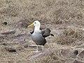 Albatross birds - Espanola - Hood - Galapagos Islands - Ecuador (4871120793).jpg