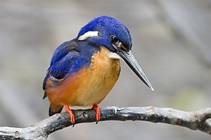 Kingfisher - Azure kingfisher (Ceyx azureus)