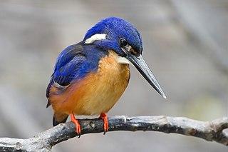 Kingfisher family of birds