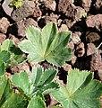 Alchemilla acutiloba leaf (07).jpg