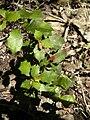 Alchornea ilicifolia foliage.jpg