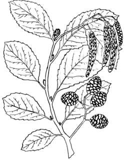 <i>Alnus oblongifolia</i> species of plant