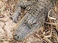 Alligator mississippiensis - Oasis Park - 11.jpg