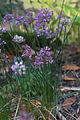 Allium Taquetii var. Taquetii GotBot 2015 002.jpg