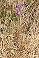 Allium acuminatum 2898.JPG