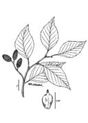 Alnus maritima drawing 2.png
