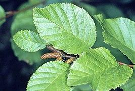 Alnus viridis crispa leaves.jpg