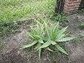 Aloe Vera, en el jardín materno.jpg