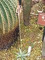 Aloe rauhii 'Snowflake'3.jpg