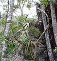 Aloe sp. Ribaue - adventitious roots (9798738176).jpg