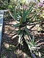 Aloe x caesia 1w.jpg