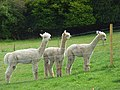 Alpacas at Speen - geograph.org.uk - 934700.jpg