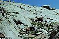 Alpes-Maritimes Saint-Martin-Vesubie Lacs Bessons Chamois - panoramio (2).jpg