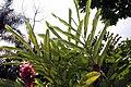 Alpinia purpurata 17zz.jpg
