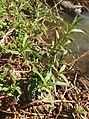 Alternanthera nodiflora habitus.jpg