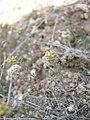 Alyssum desertorum plants-3-06-05.jpg