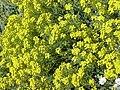 Alyssum saxatile2.jpg