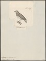 Amadina polyzona - 1700-1880 - Print - Iconographia Zoologica - Special Collections University of Amsterdam - UBA01 IZ15900199.tif