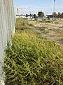 Amaranthus albus sl30.jpg