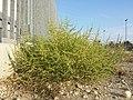 Amaranthus albus sl32.jpg