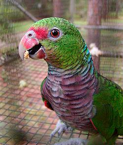 Amazonas Vinacea o Loro Vinaceó 250px-Amazona_vinacea_-RSFP-8a-1c