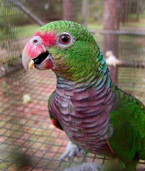 Ficheiro:Amazona vinacea -RSFP-8a-1c.jpg