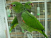 A green parrot with a light-brown throat, a dark red mark between the eyes and the beak, and white eye-spots
