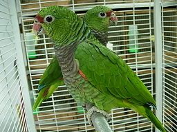 Amazona vinacea -two captive-8a